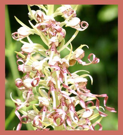 Lizard orchid -  prairial