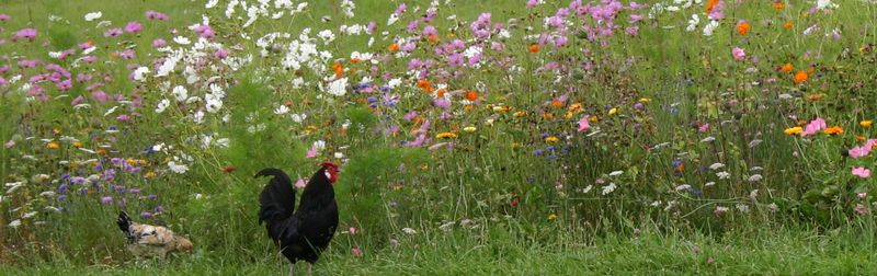 Chickens and flowers 1